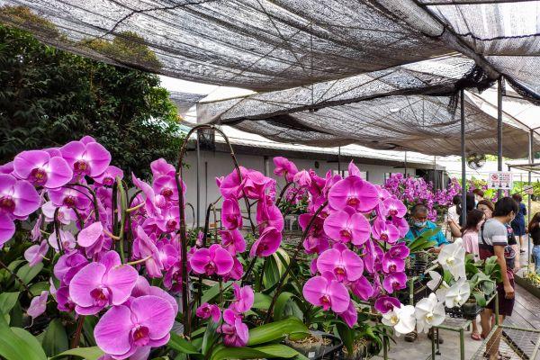 world-of-phalaenopsis-orchE5F4076C-9EA8-9801-FA07-4F9F46FE87F7.jpg